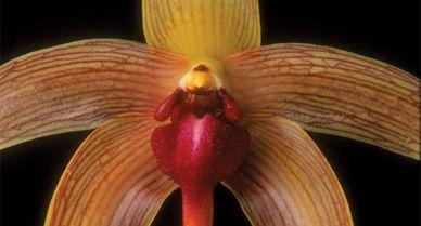 Bulbophyllum echinolabium orchid