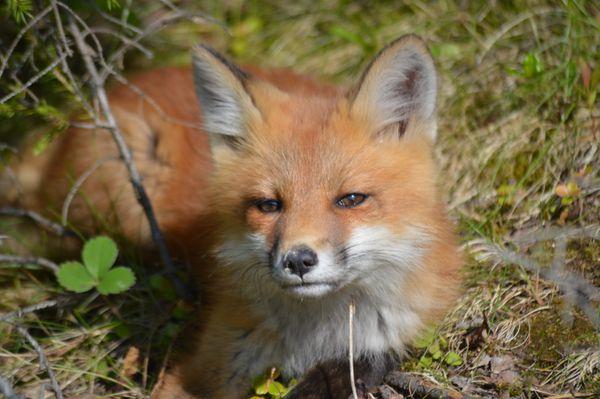 A Red Fox Relaxing thumbnail