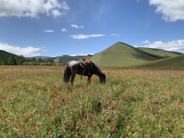 A Mongolian Horse In A Wildflower Meadow thumbnail