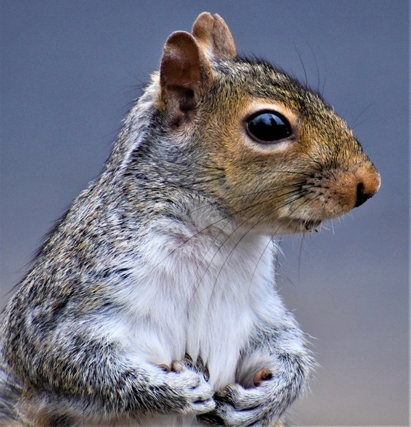 Squirrel holding something in both hands thumbnail