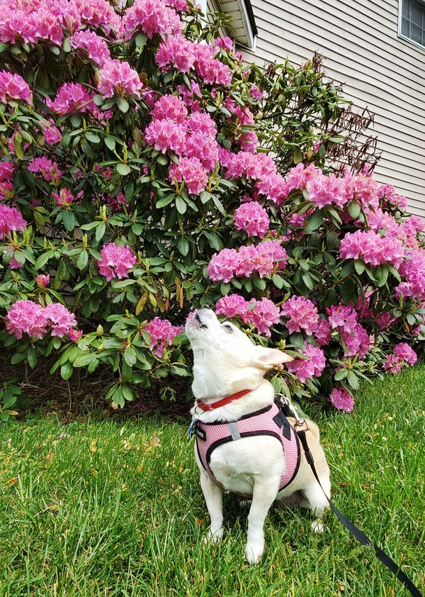 A Chihuahua's Joyful Bark thumbnail
