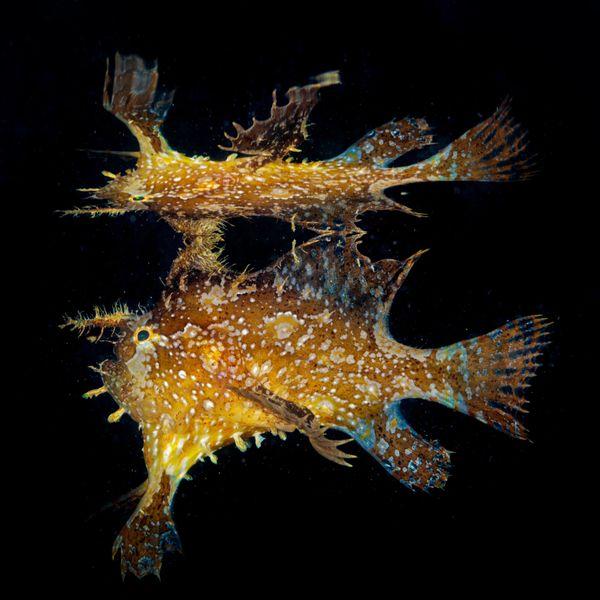 Sargassum Frogfish thumbnail