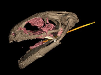 An extinct group of lizardlike amphibians known as albanerpetontids boasts the earliest example of a slingshot-style tongue. This CT scan shows an exquisitely preserved 99-million-year-old albanerpetontid skull with its long, specialized tongue.