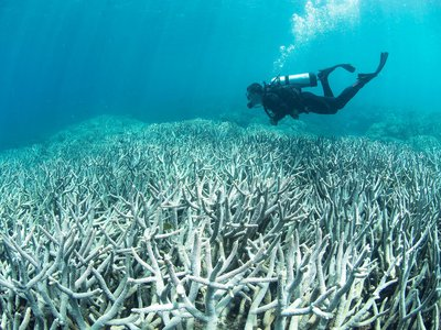 A small hike in the water temperature triggers corals to dispel the algae, causing them to bleach and turn a ghostly shade of white.