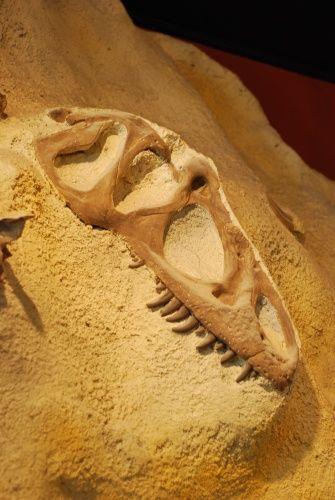 20110520083152allosaurus-skull-cast.jpg