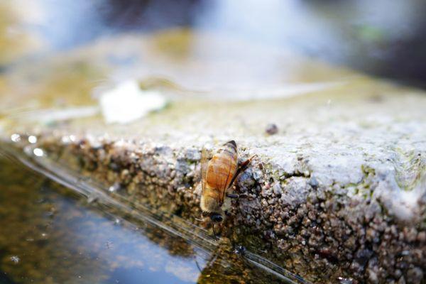 A honeybee drinks water  thumbnail