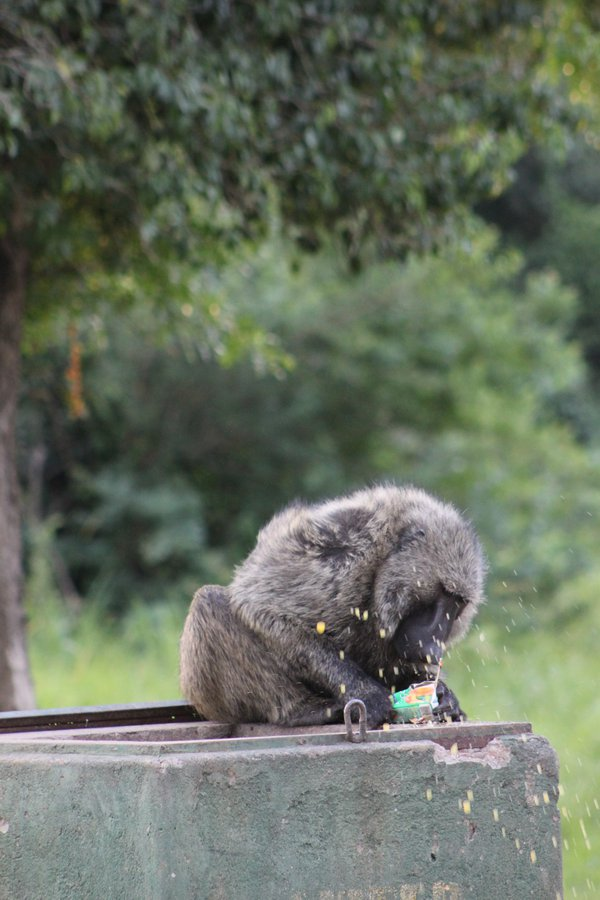 Baboon Tearing Into a Juicebox. thumbnail