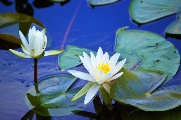 Water Lily at Centennial Park thumbnail