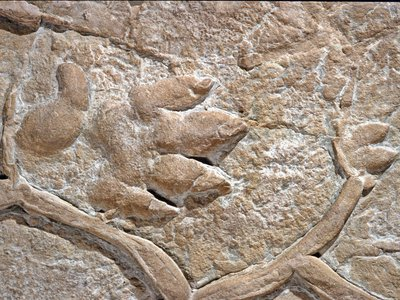 """At right is a left front foot followed by the hind foot of the mysterious Chirotherium, or """"hand beast."""" The tracks were first found in the German town of Hildburghausen."""