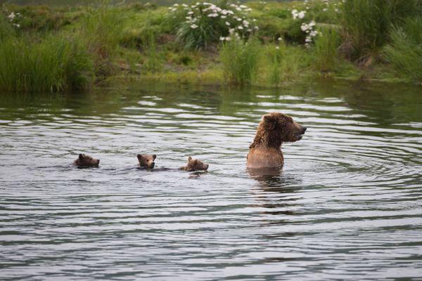 Swimming bear family thumbnail