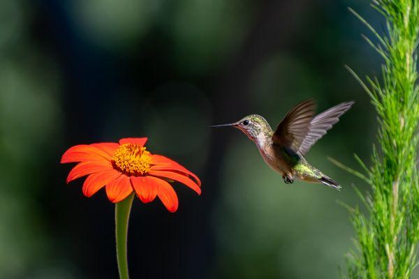 Hummingbird hovering over an orange flower thumbnail