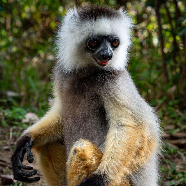 Diademed Sifaka Lemur in Madagascar thumbnail