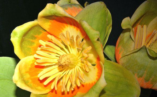 American Tulip Tree Blossoms thumbnail