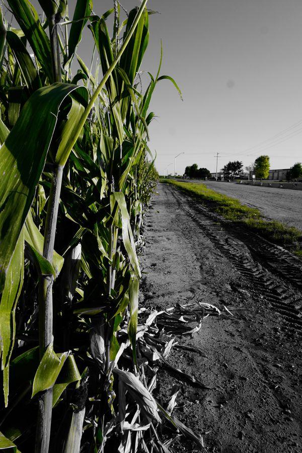 Corn Rows thumbnail