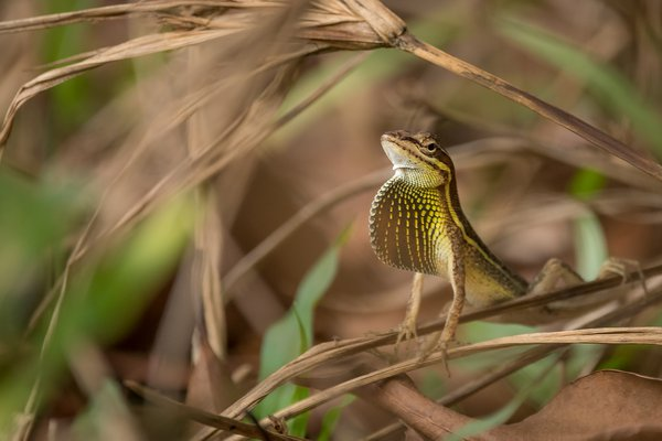 Grass Anole Display  thumbnail