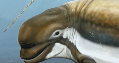 new fossil beluga