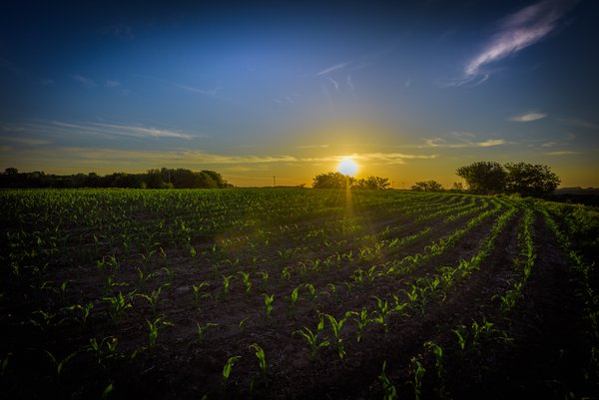 Morning sunrise  on  my  cornfield in Nebraska. thumbnail