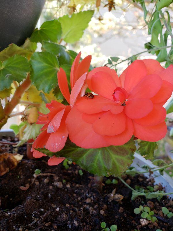Ladybug in Bloom thumbnail