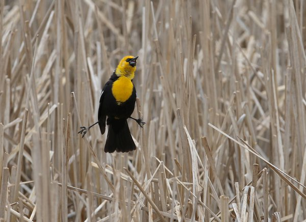 Singing yellow-headed blackbird thumbnail