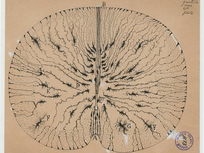 Glial cells of the mouse spinal cord, 1899 Ink and pencil on paper, 5 7/8 x 7 1/8 in.