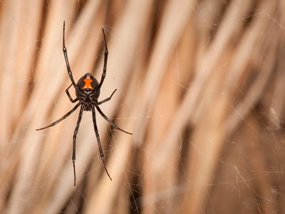 Black widows' red hourglass tells birds to back off but is almost invisible to insects.