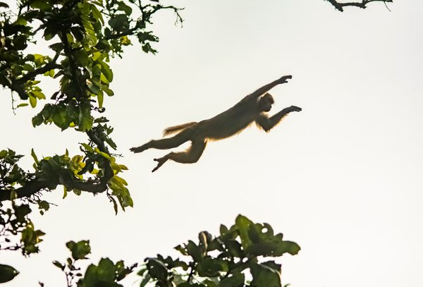 The Flying Macaque thumbnail