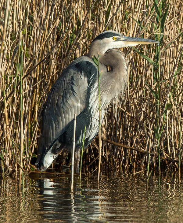 Great Blue Heron in the Reeds.  Canon EOS-1D X with EF400mm 2.8L lens & 2X thumbnail