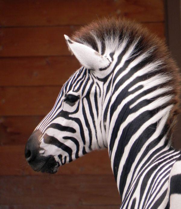 Zebra foal thumbnail