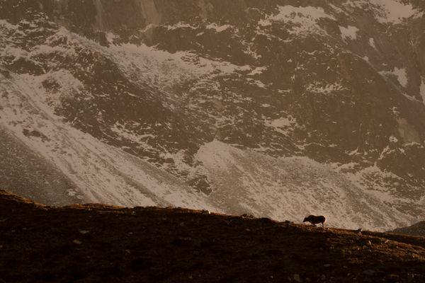 Himalayan Yak Spotlight thumbnail
