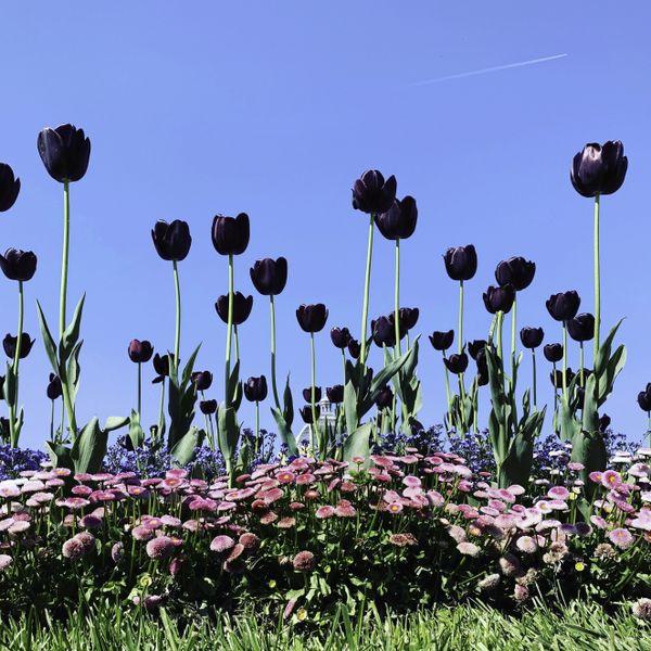 Black tulips in Zagreb, Croatia. thumbnail