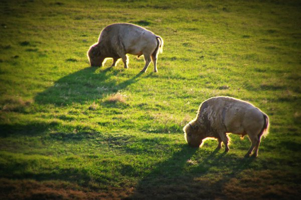 Two buffalo grazing as the sun rose behind them thumbnail