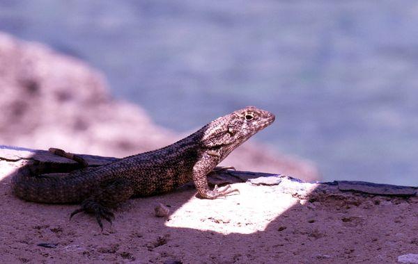 Lizard in Grand Cayman thumbnail