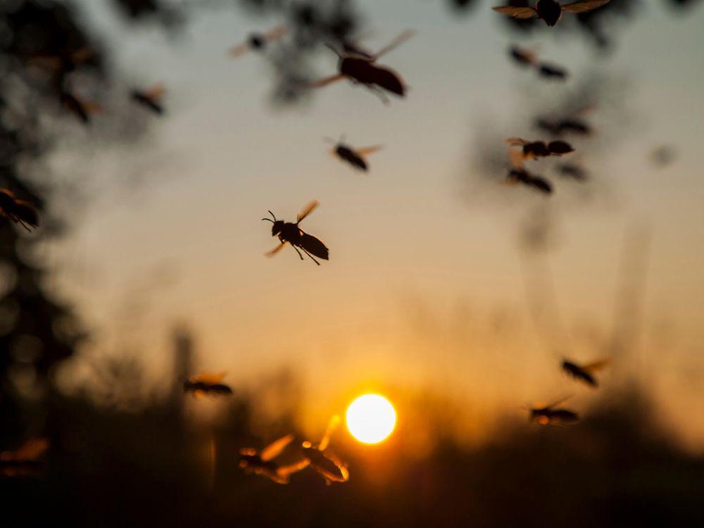german hornets