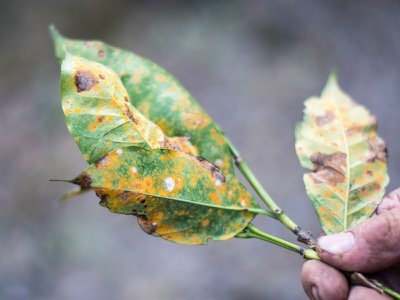 The fungus Hemileia vastatrix strikes a plant on a coffee farm in Aquires, Costa Rica.