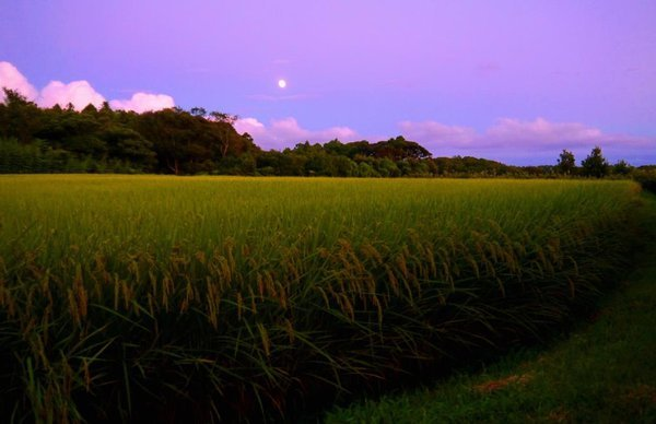 The moon rising above the rice field on phantom Isle thumbnail
