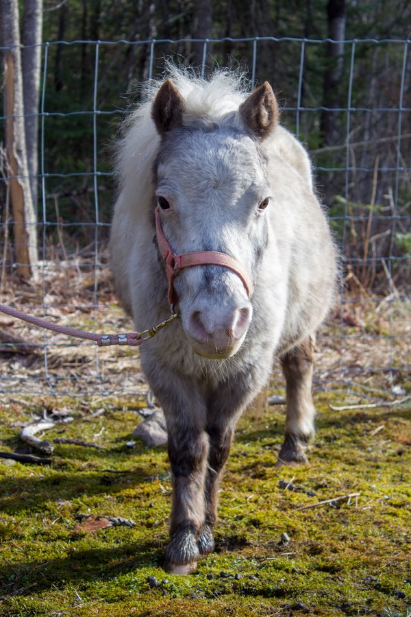 A miniature horse recently relocated to a new farm thumbnail