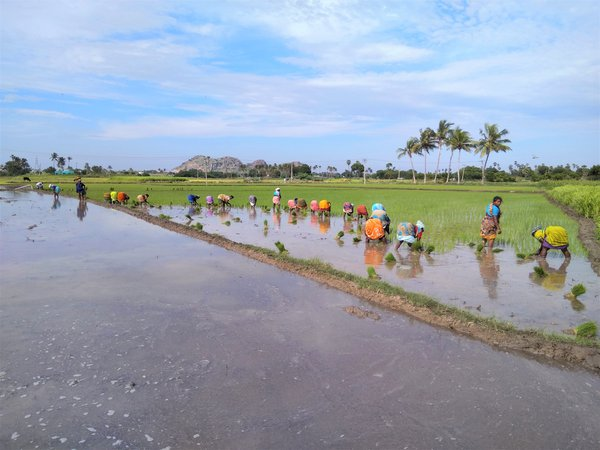 People sowing young rice seedlings thumbnail