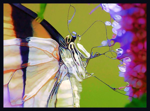 Butterfly drinking necture thumbnail