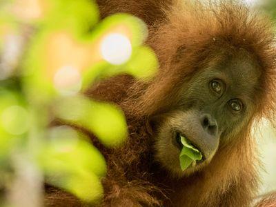 A member of the new orangutan species, Pongo tapanuliensis.