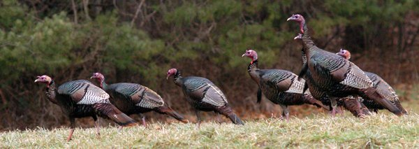 Wild Turkey Procession thumbnail