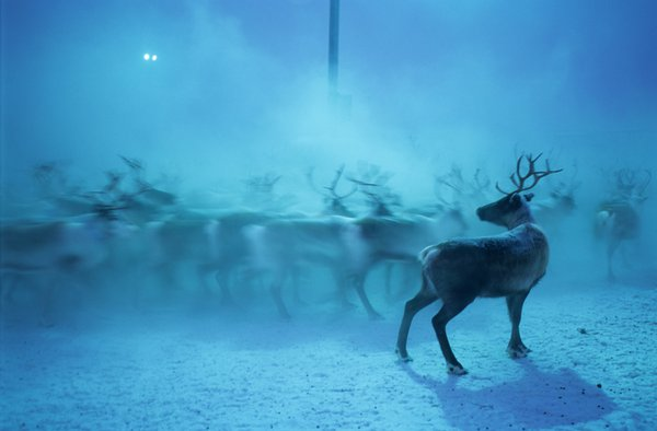 Gabna Sami Reindeer Coral, northern Sweden thumbnail