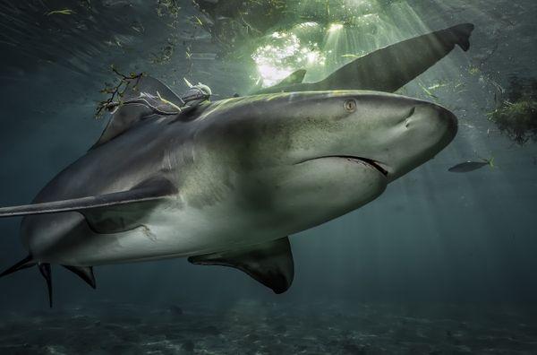 A Bull Shark in Bimini, Bahamas thumbnail