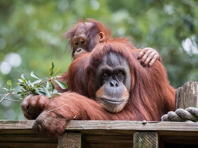 Orangutan mothers waited an average of seven minutes before alerting infants to a potential predator's presence