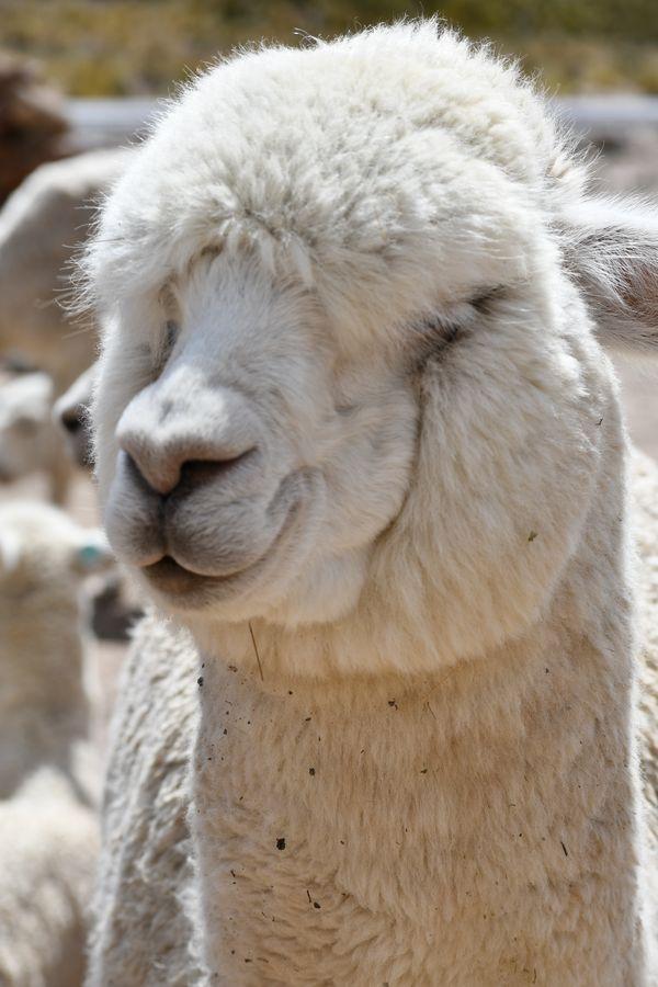 Friendly alpaca thumbnail
