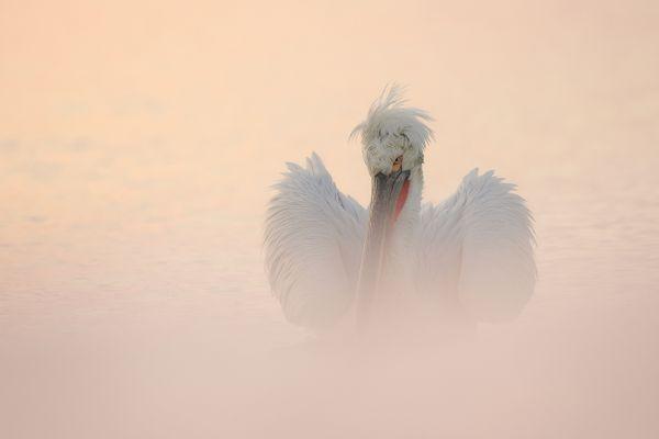 Dalmatian pelican thumbnail