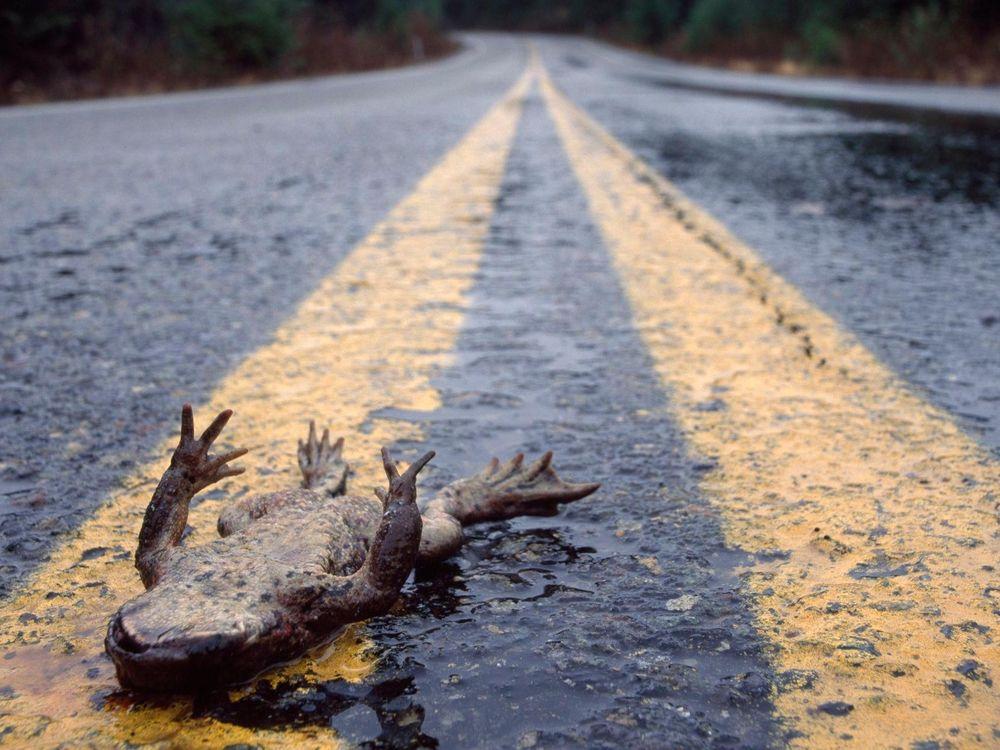 Roadkill frog