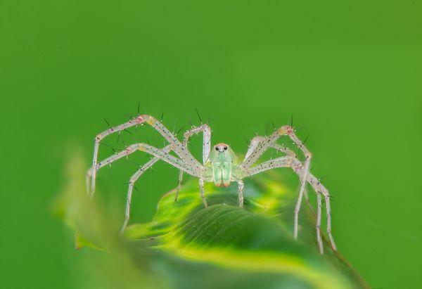 Lynx Spider thumbnail