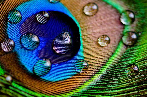 Peacock shower thumbnail