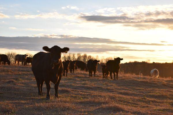 Sunset Cattle  thumbnail