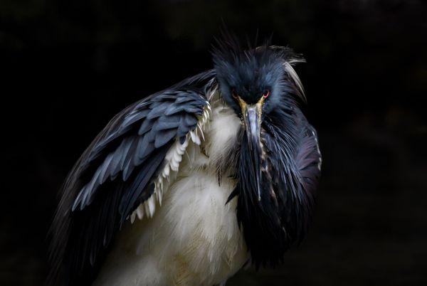 Tricolored Heron thumbnail
